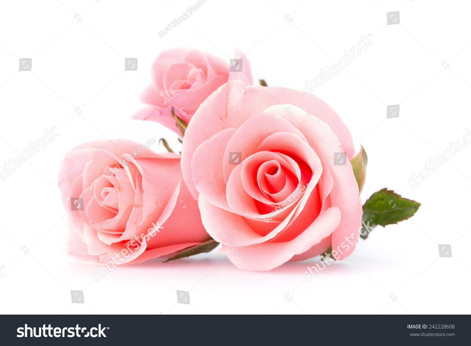 pink rose flower on white background imagen de archivo