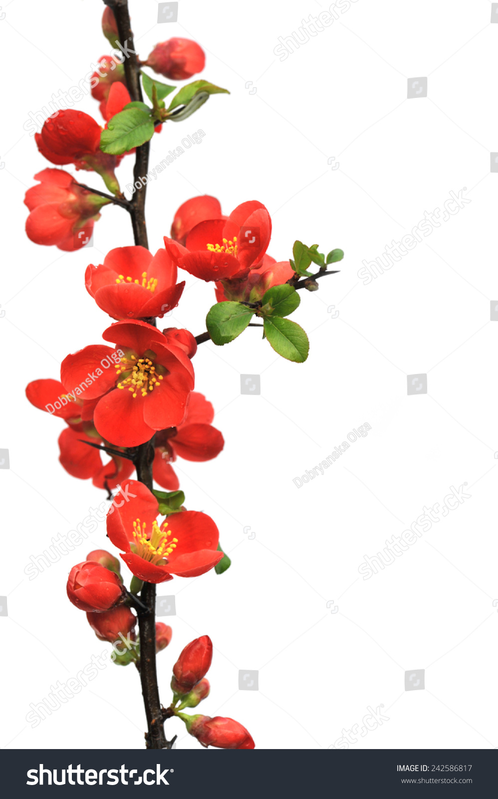 Blossoming twig japanese quince on white stock photo 242586817 blossoming twig of japanese quince on white background japanese quince with drops on white background biocorpaavc Image collections