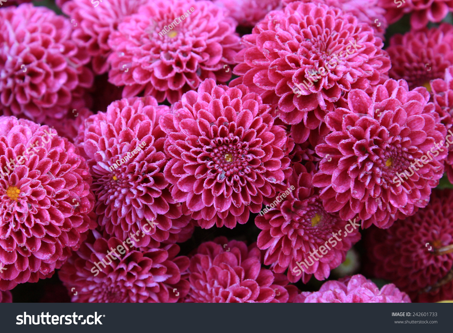 Dahlia flowers abstract background dahlia flowers stock photo edit dahlia flowers abstract background of dahlia flowers beautiful dahlia flowers with water droplets izmirmasajfo