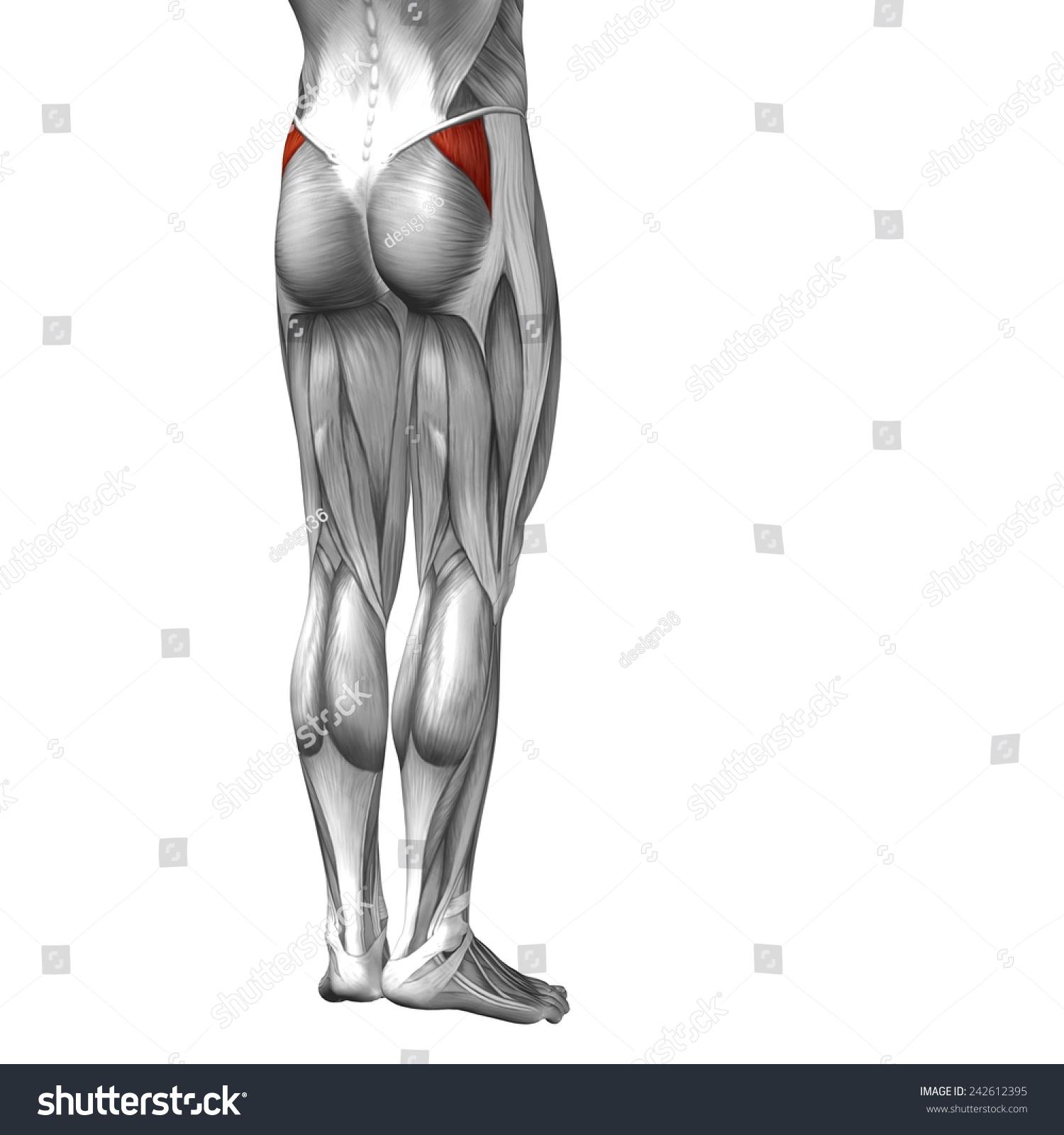 Conceptual 3 D Gluteus Medius Human Anatomy Stock Illustration ...