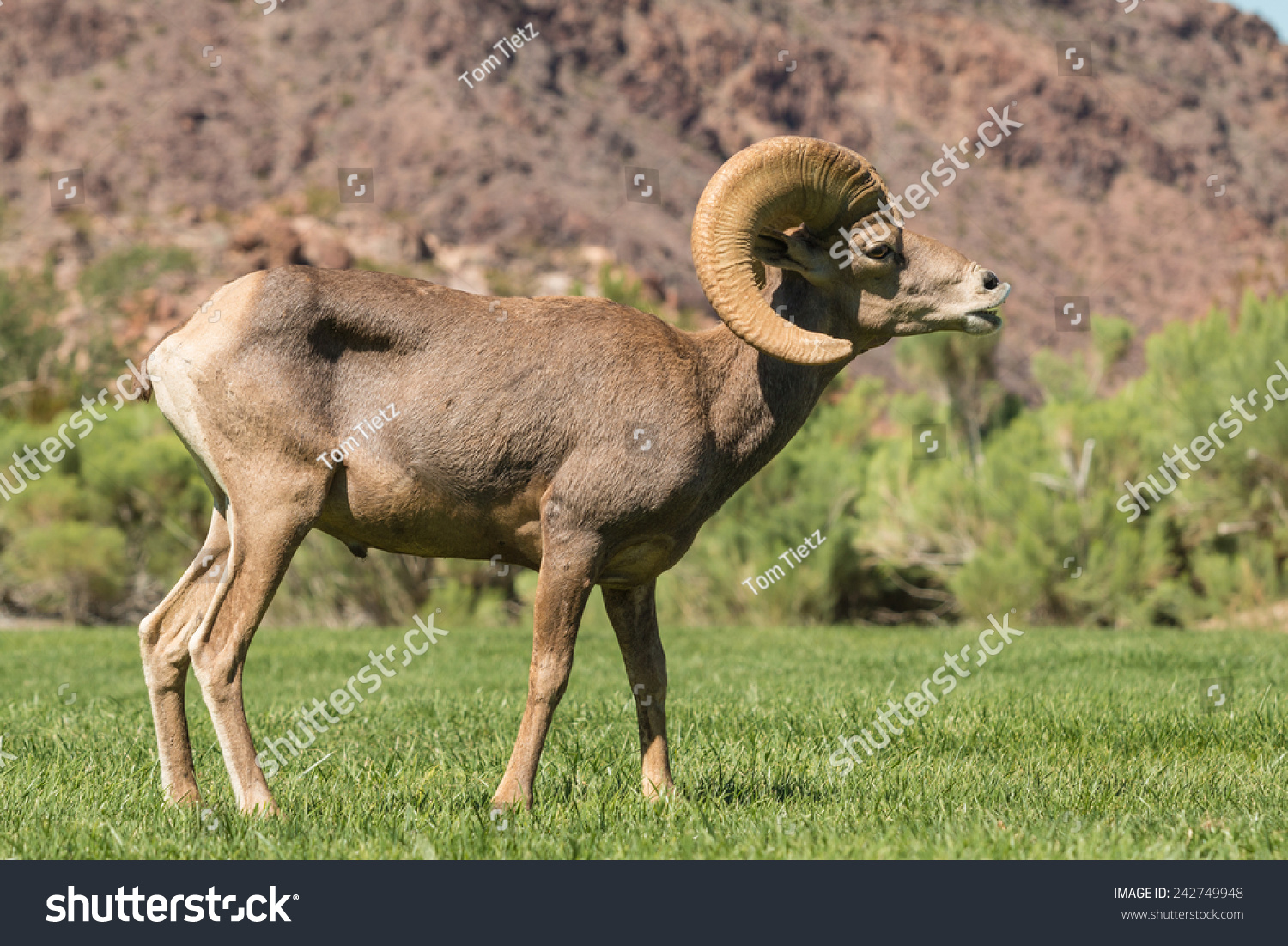 Desert Bighorn Sheep Ram Nevada Animals Wildlife Stock Image 242749948