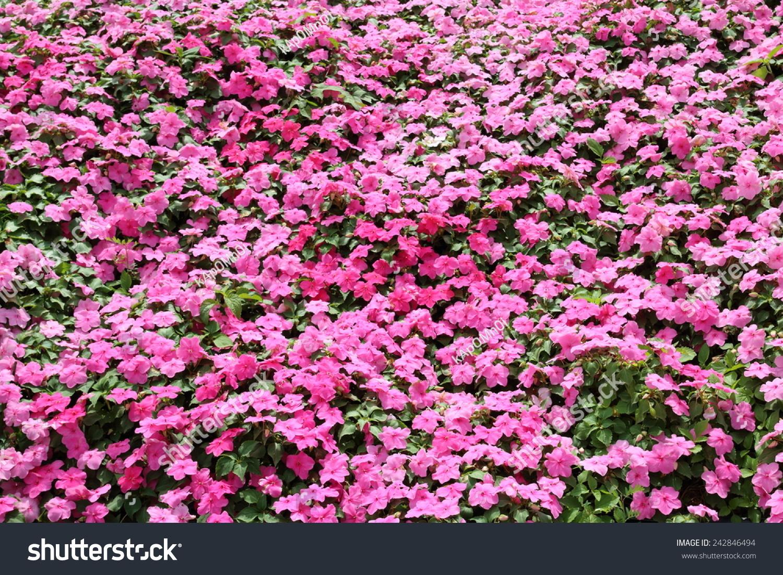 Beautiful Impatiens Flower Park Garden Flowers Stock Photo ... for Flower Park Background  70ref
