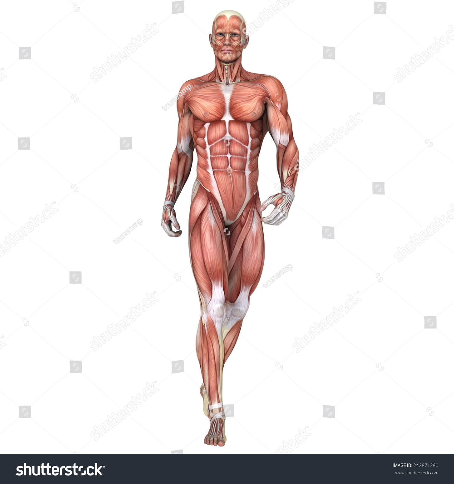 3d Digital Render Of A Standing Male Anatomy Figure With Muscles Map