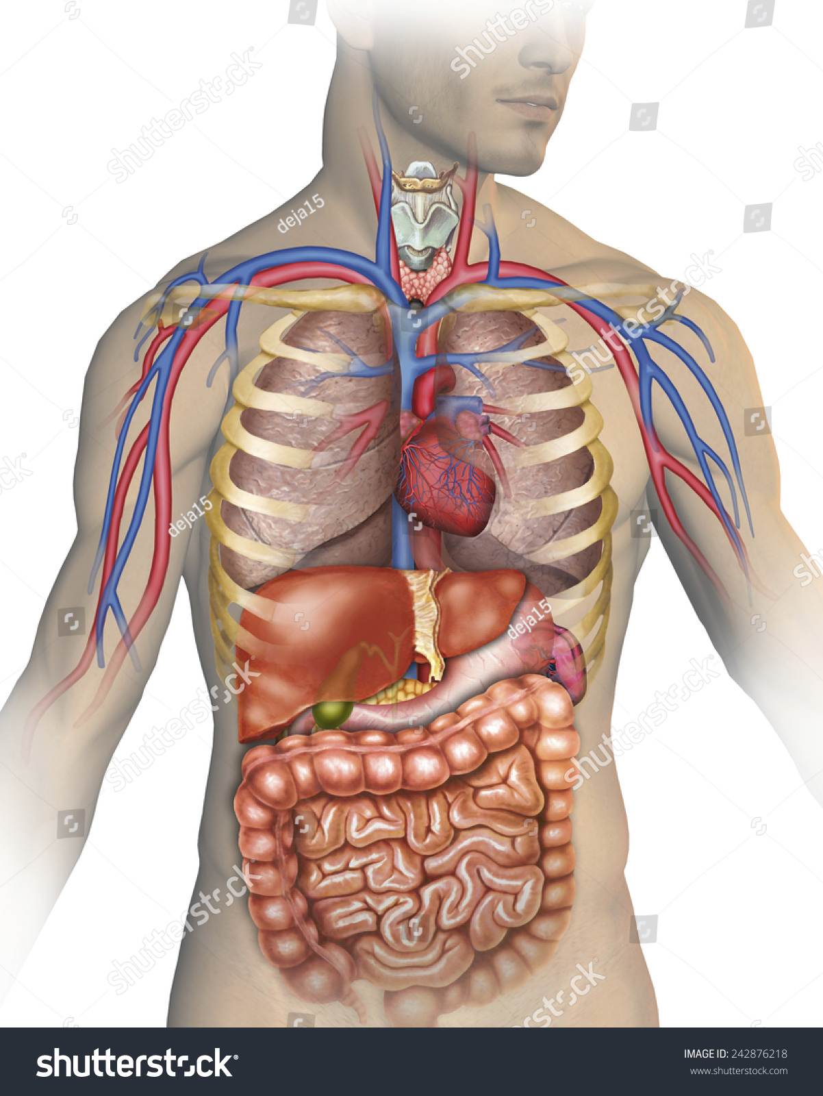human body anatomy stock illustration 242876218 - shutterstock, Skeleton
