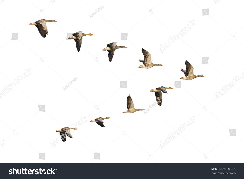 Flock Migrating Greylag Geese Flying Vformation Stock Photo ...