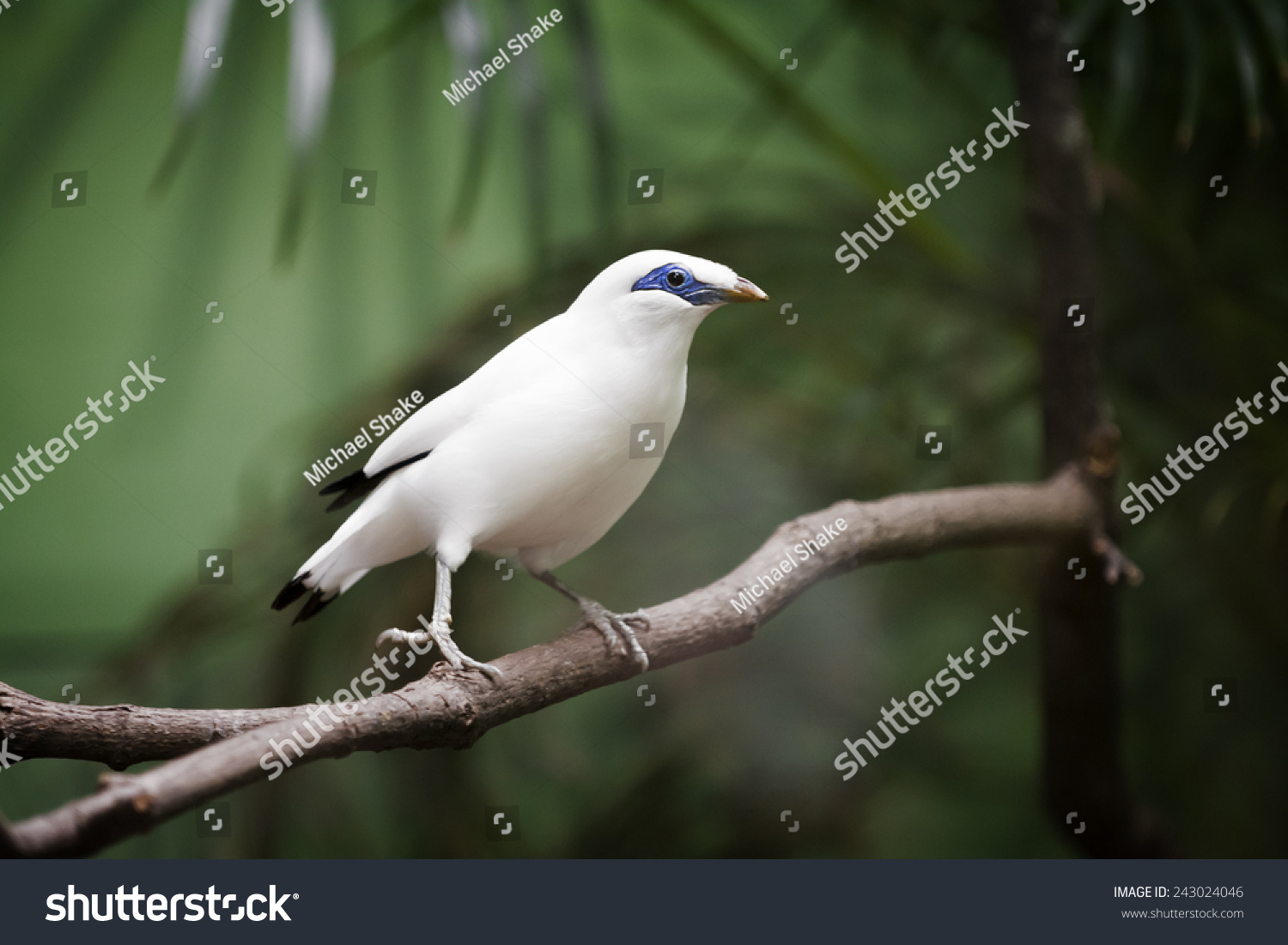 This critically endangered species national symbol stock photo this critically endangered species is the national symbol of the island of bali the bird biocorpaavc Image collections