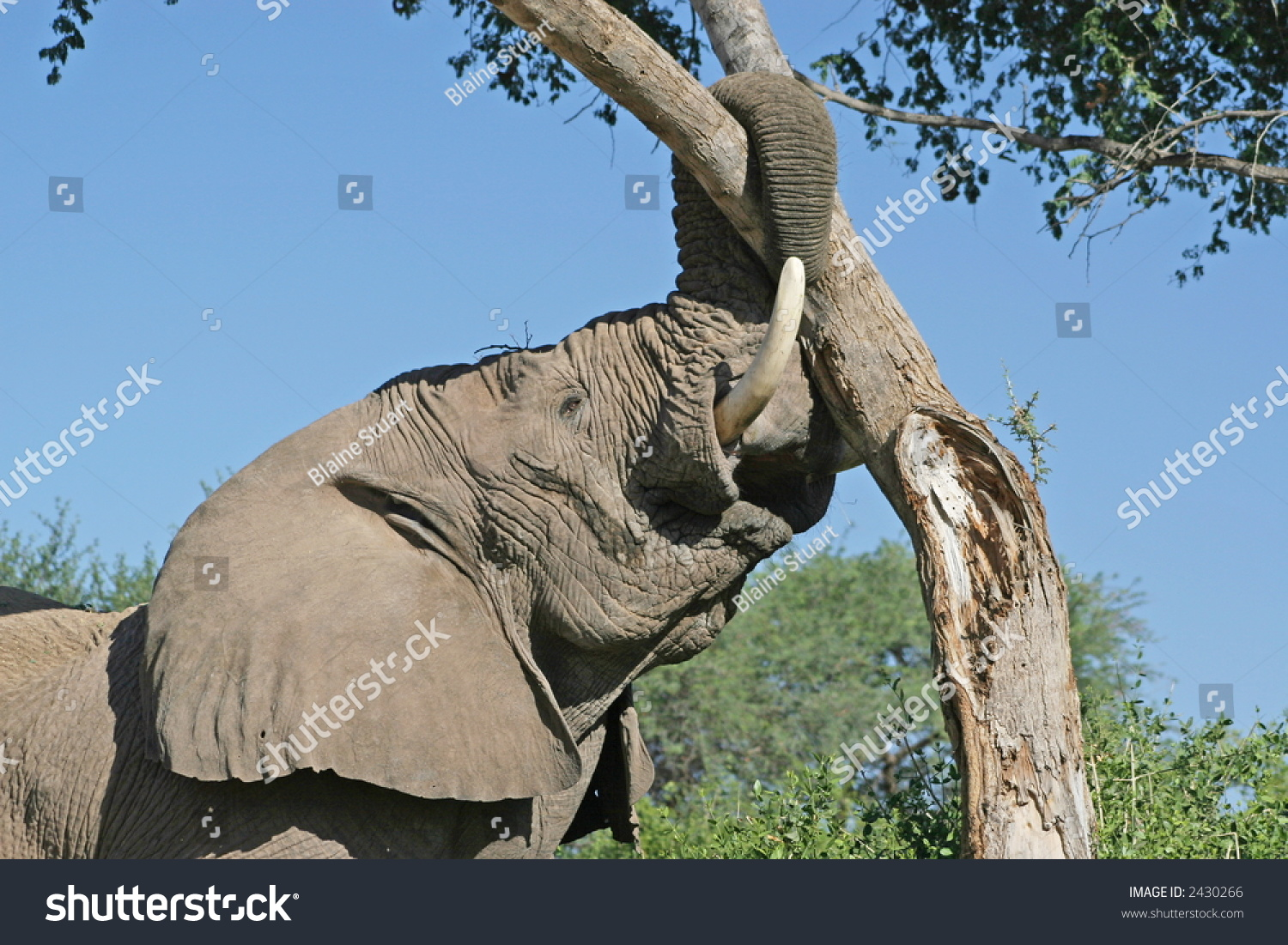 Desert adapted african elephant loxodonta africana stock photo desert adapted african elephant loxodonta africana tearing down tree biocorpaavc Images