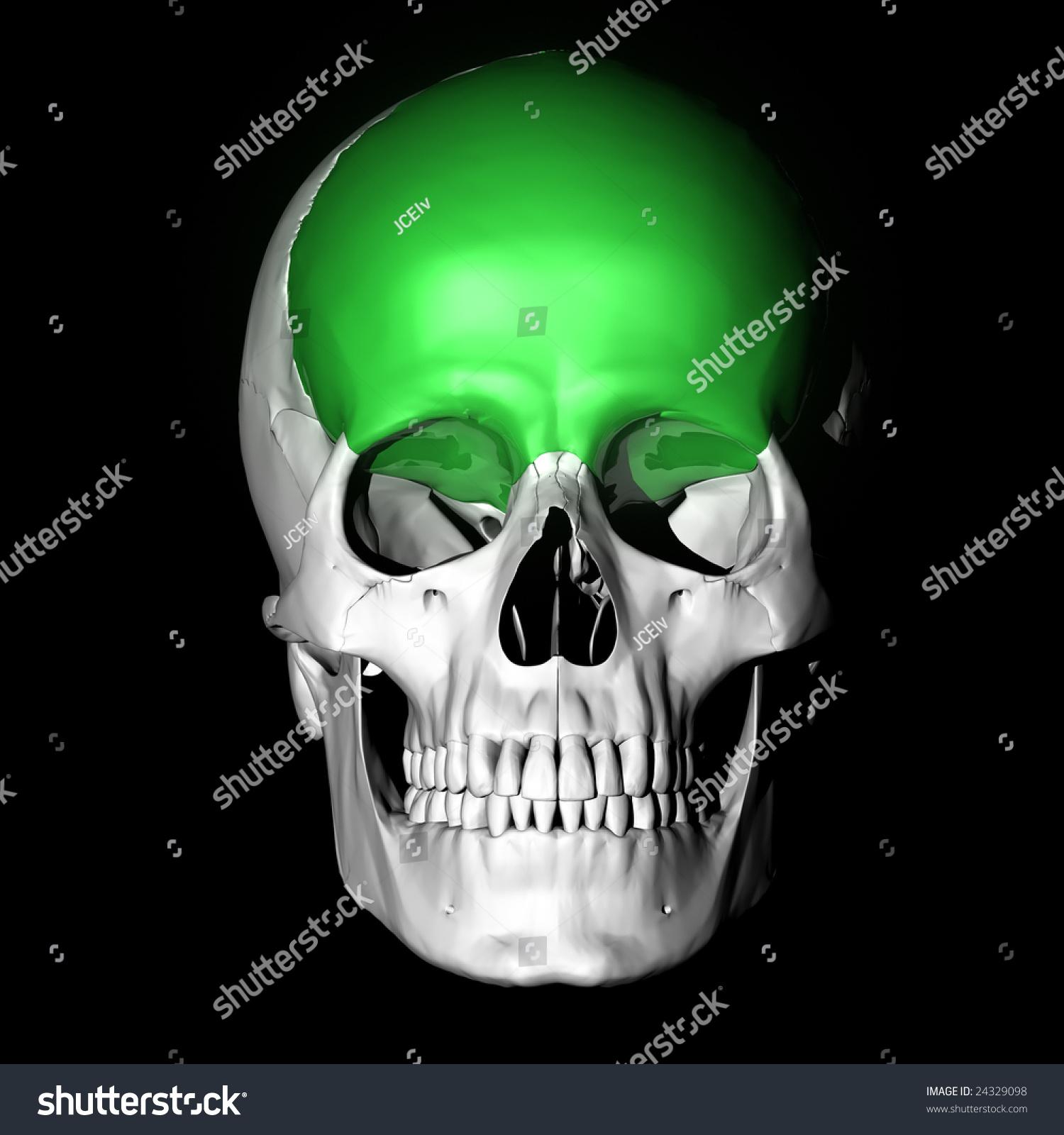 Frontal Bone Highlighted Green Stock Illustration 24329098 ...