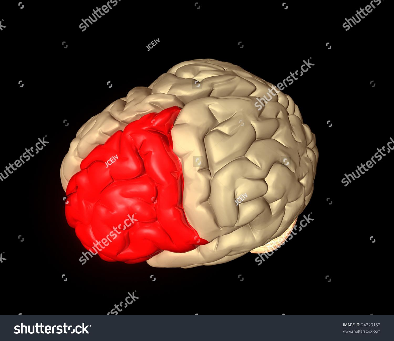 Frontal Lobe Brain Highlighted Red Stock Illustration 24329152 ...