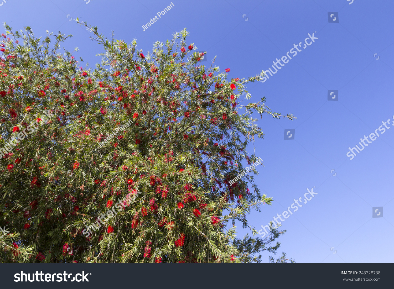 Red flower tree blue sky stock photo edit now 243328738 shutterstock red flower tree with blue sky izmirmasajfo