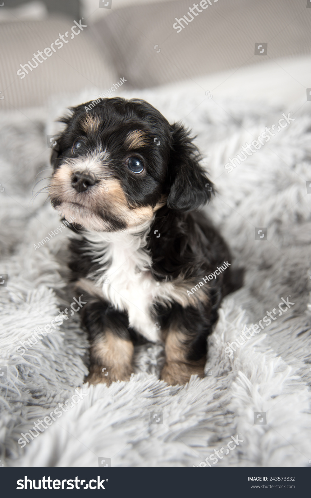 Tiny Adorable Puppy On Fluffy Gray Stock Photo Edit Now 243573832