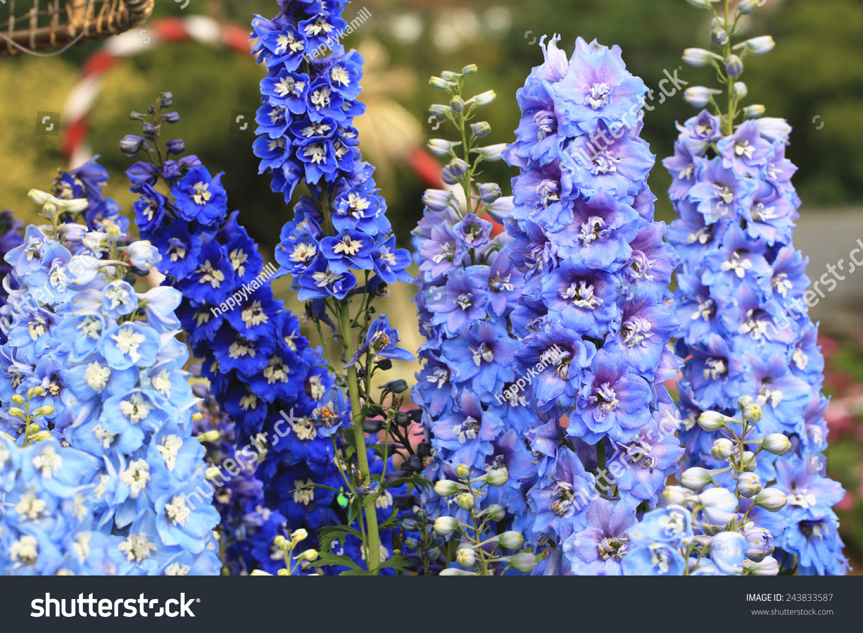 Delphinium Candle Delphiniummany Beautiful Purple Blue Flowers Stock