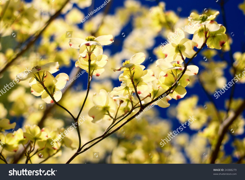 Eastern Flowering Dogwood Tree Cornus Florida Ez Canvas
