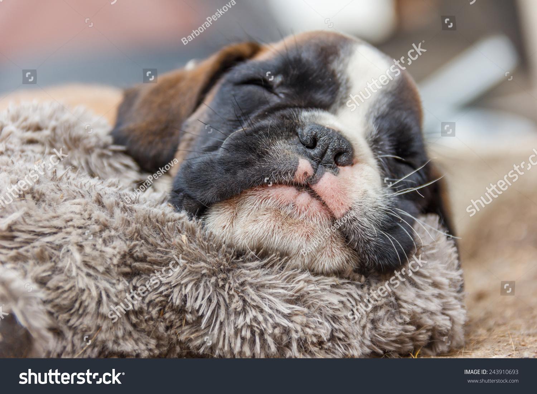 Cute Puppy Sleeping Stock Shutterstock