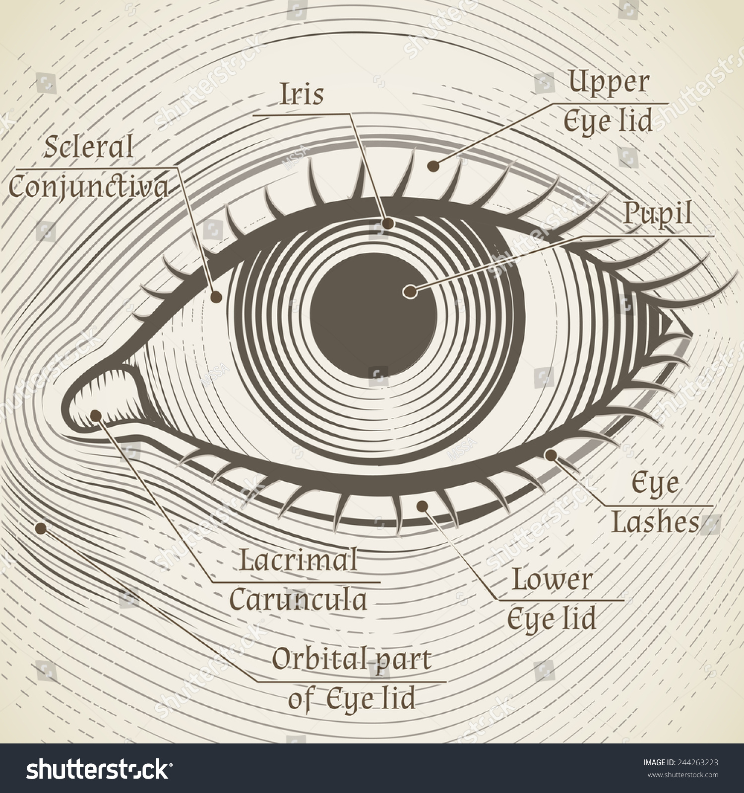 Human eye etching captions cornea iris stock illustration 244263223 human eye etching with captions cornea iris and pupil name parts of the ccuart Images