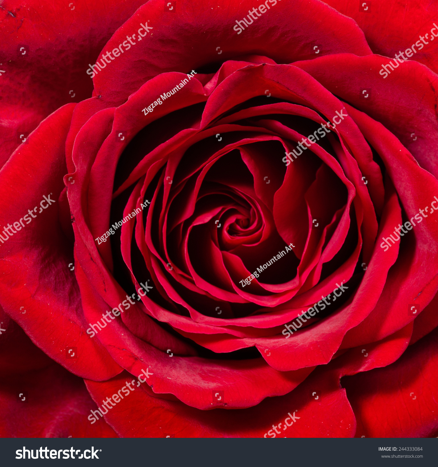 Single red rose close up showing petals stock photo for Individual rose petals