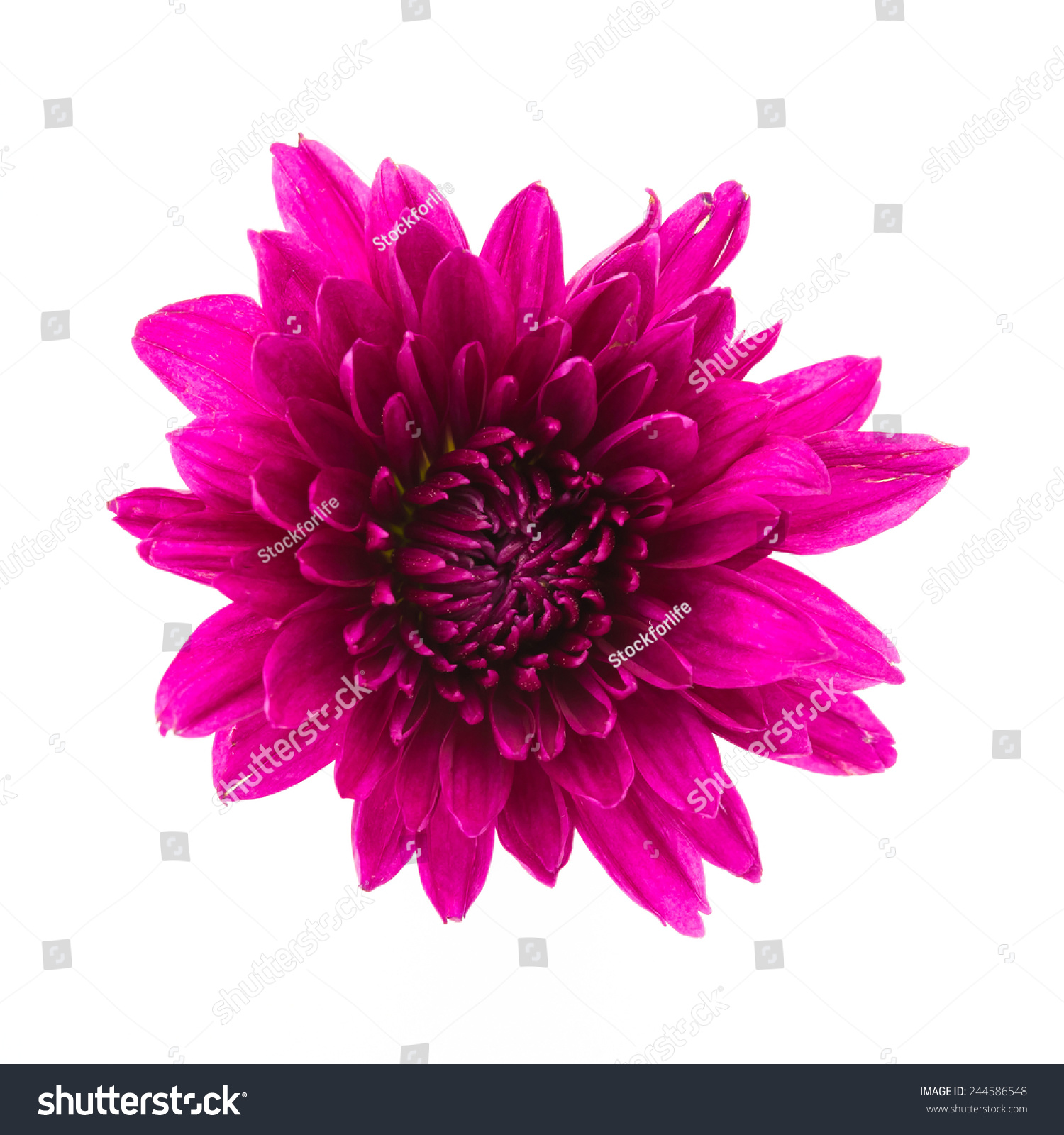 Purple flower isolated on white background | EZ Canvas