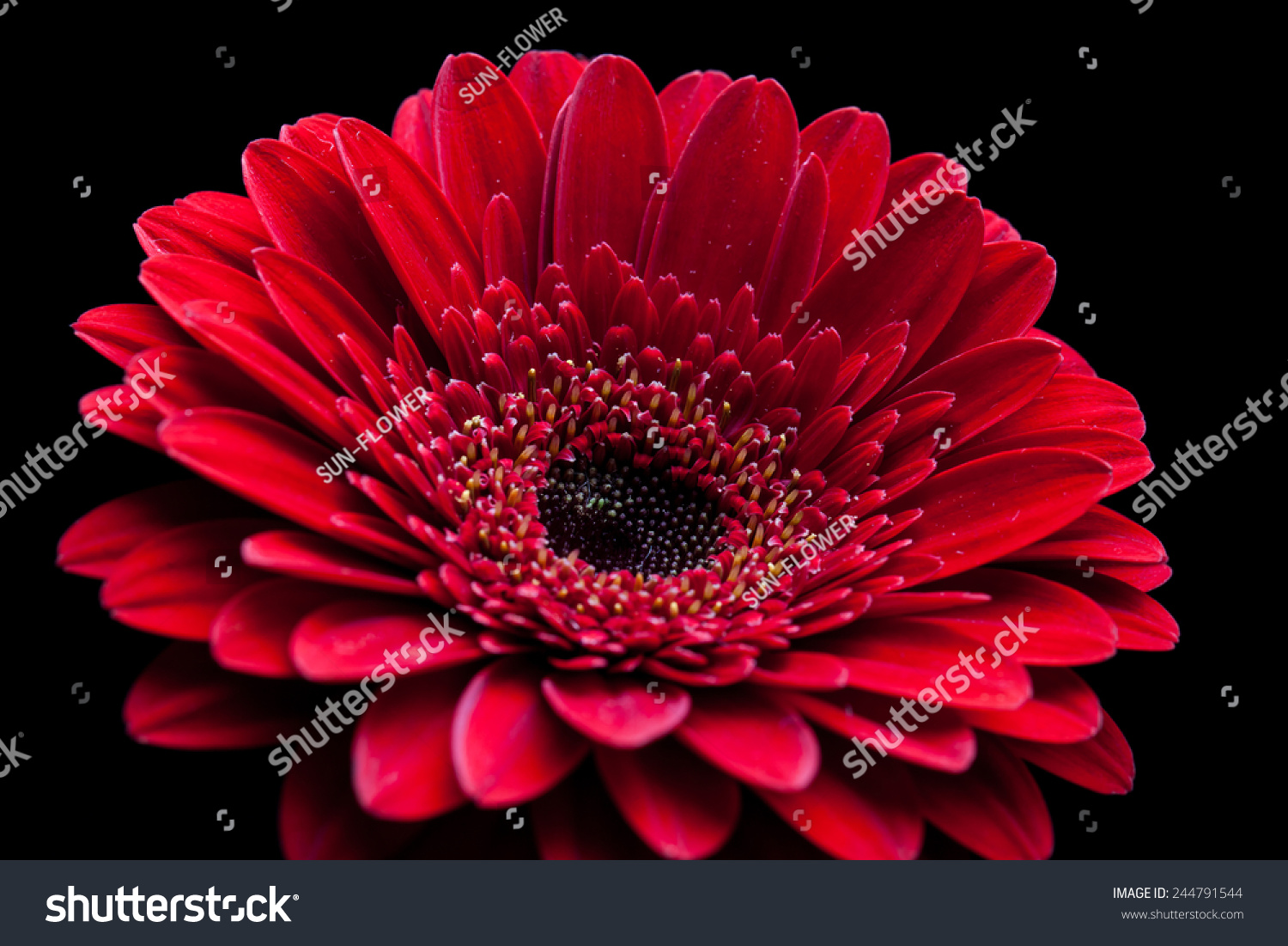 gerbera daisy beautiful red flower on stock photo (royalty free