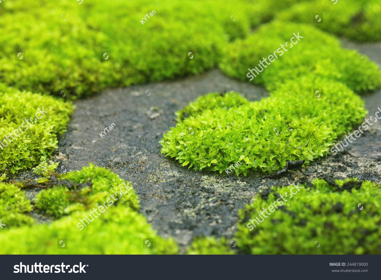 how to make moss grow on concrete