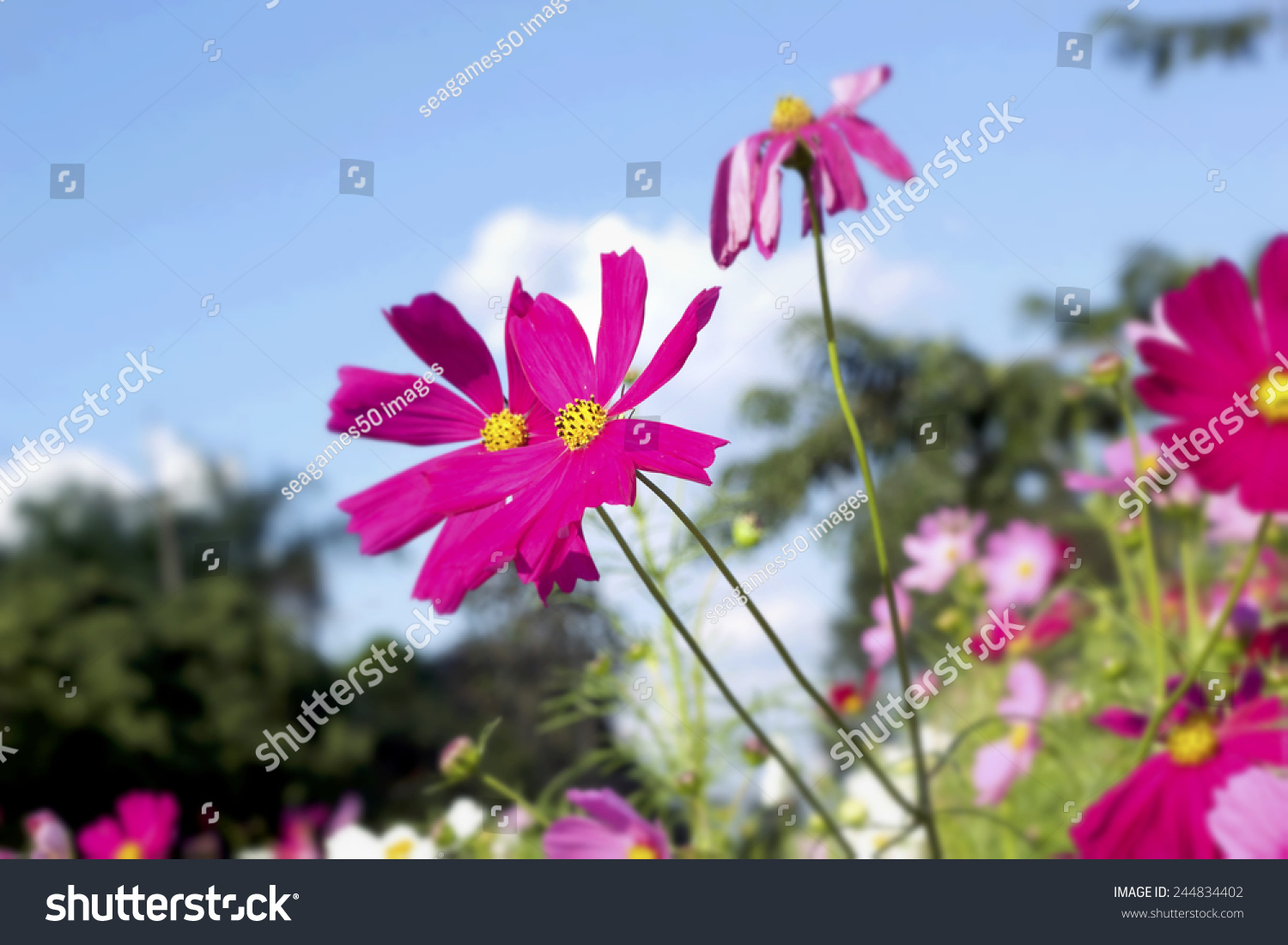 Pink White Cosmos Flowers Nature Stock Photo Royalty Free