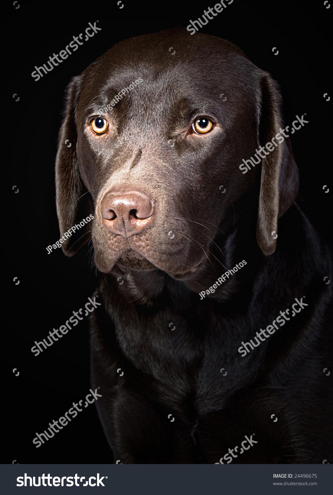 cute chocolate labrador retriever - photo #43