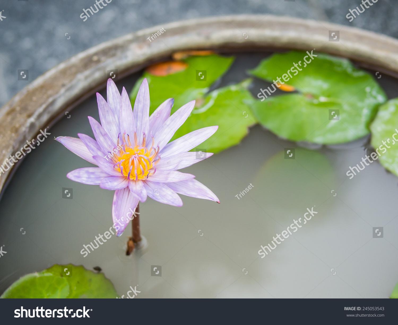 Thai lotus flower dauben scientific name stock photo edit now thai lotus flower or dauben scientific name nymphaea spphybrid of nymphaea izmirmasajfo