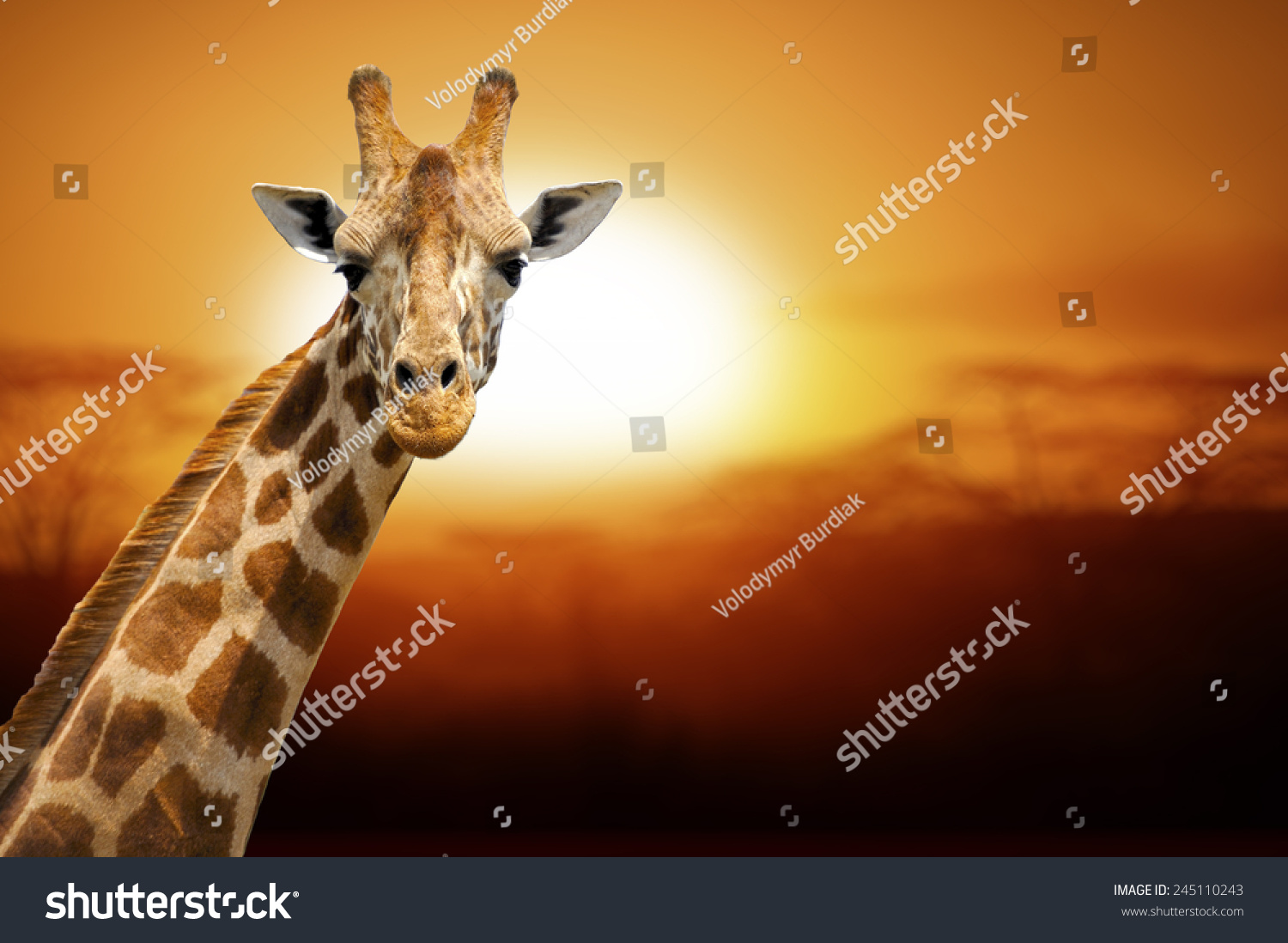 Giraffe on sunset Amboseli national park Kenya