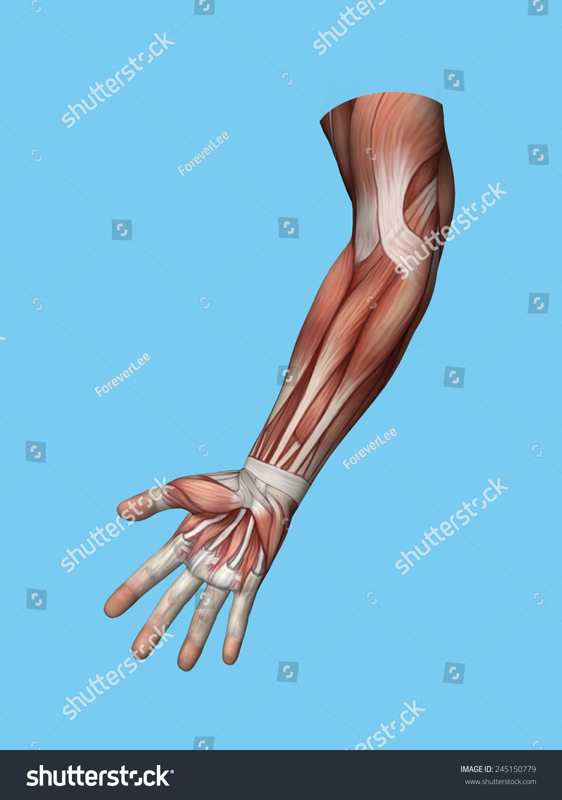 Anatomy Front View Hand Arm Muscles Stock Illustration 245150779