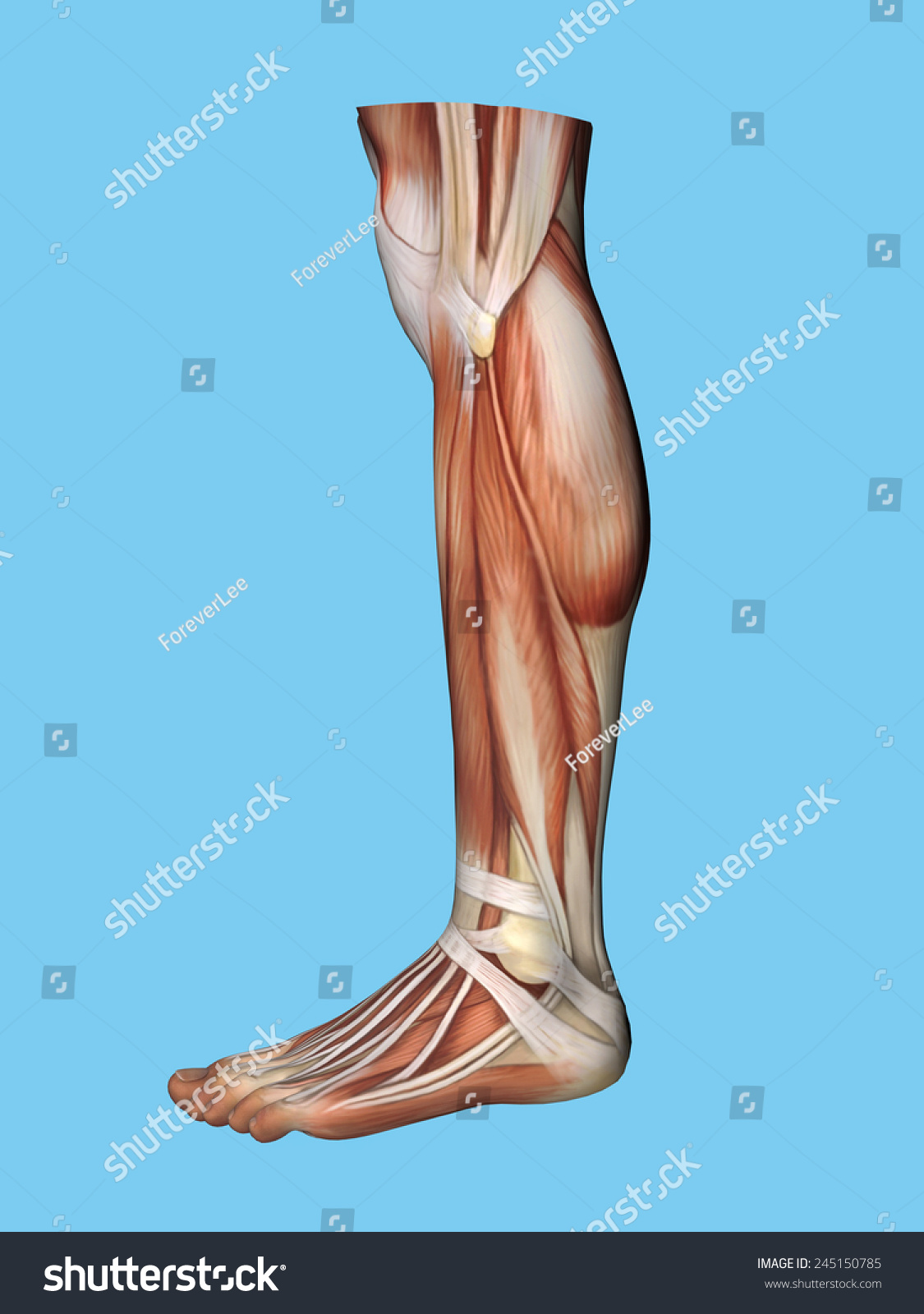 Anatomy Lateral Side View Leg Foot Stock Illustration 245150785