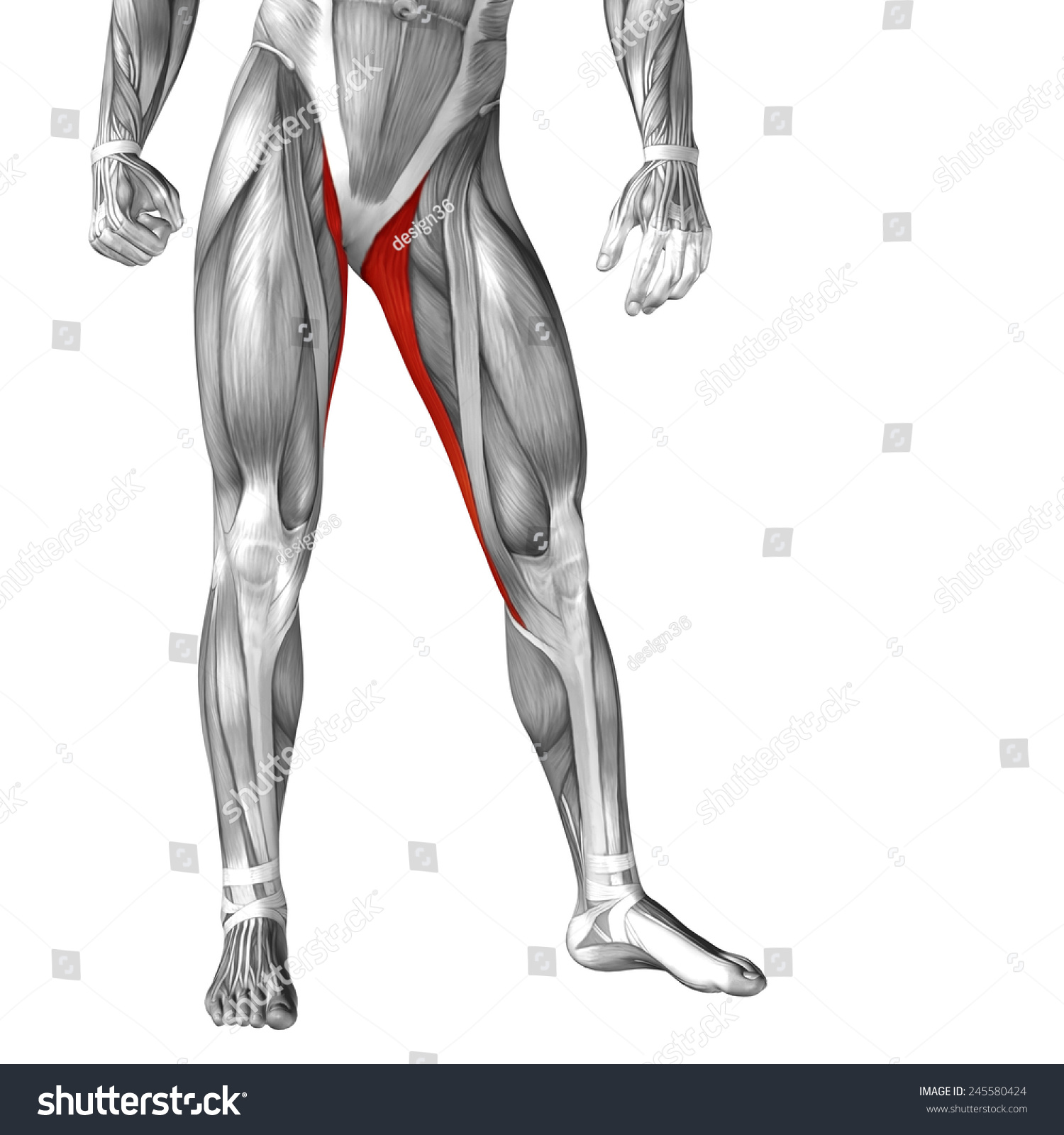 Concept Conceptual 3 D Gracilis Leg Human Stock Illustration