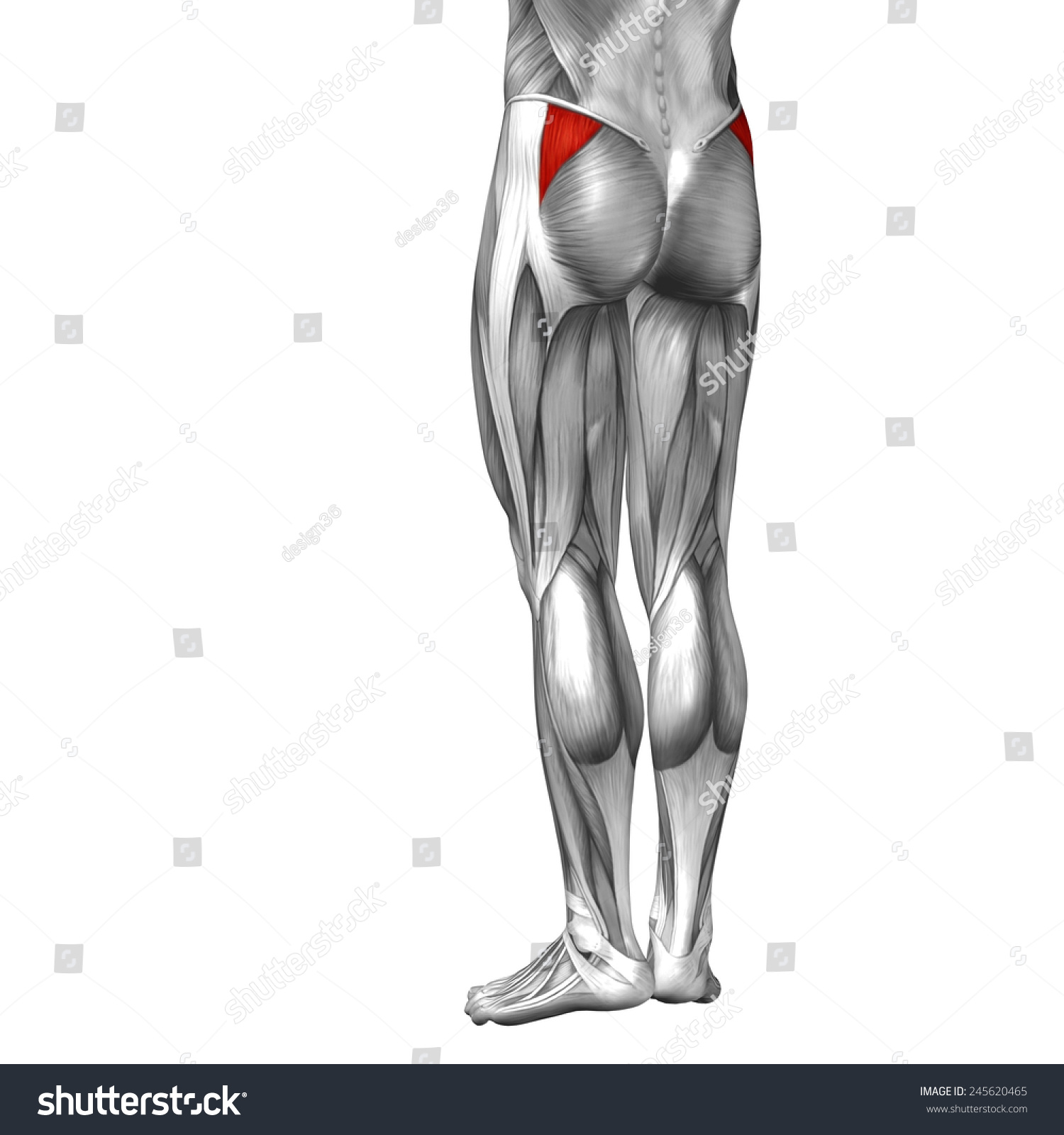 Conceptual 3 D Gluteus Medius Minimus Anatomical Stock Illustration