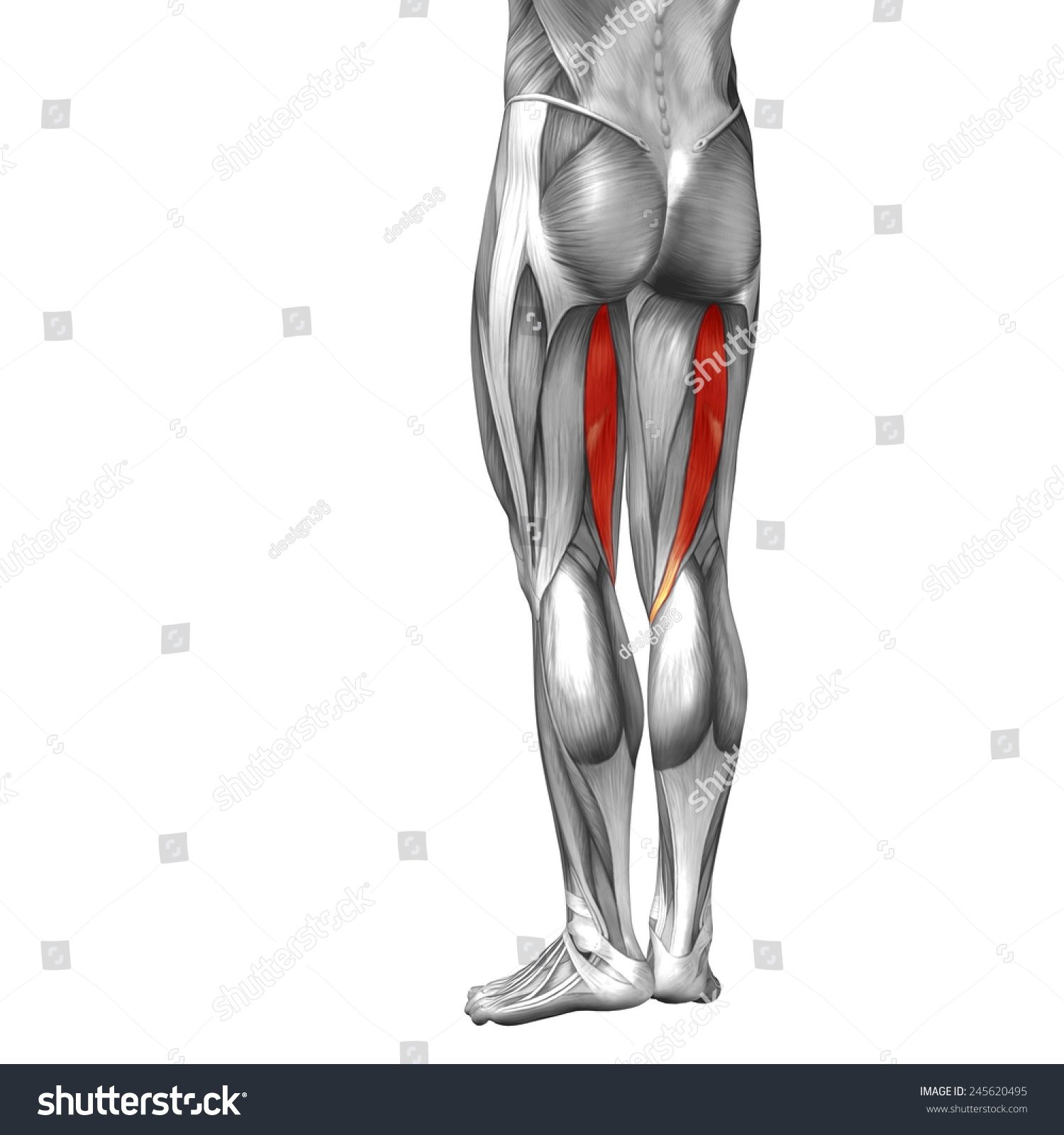 Conceptual 3 D Semitendinosus Leg Human Anatomy Stock Illustration ...