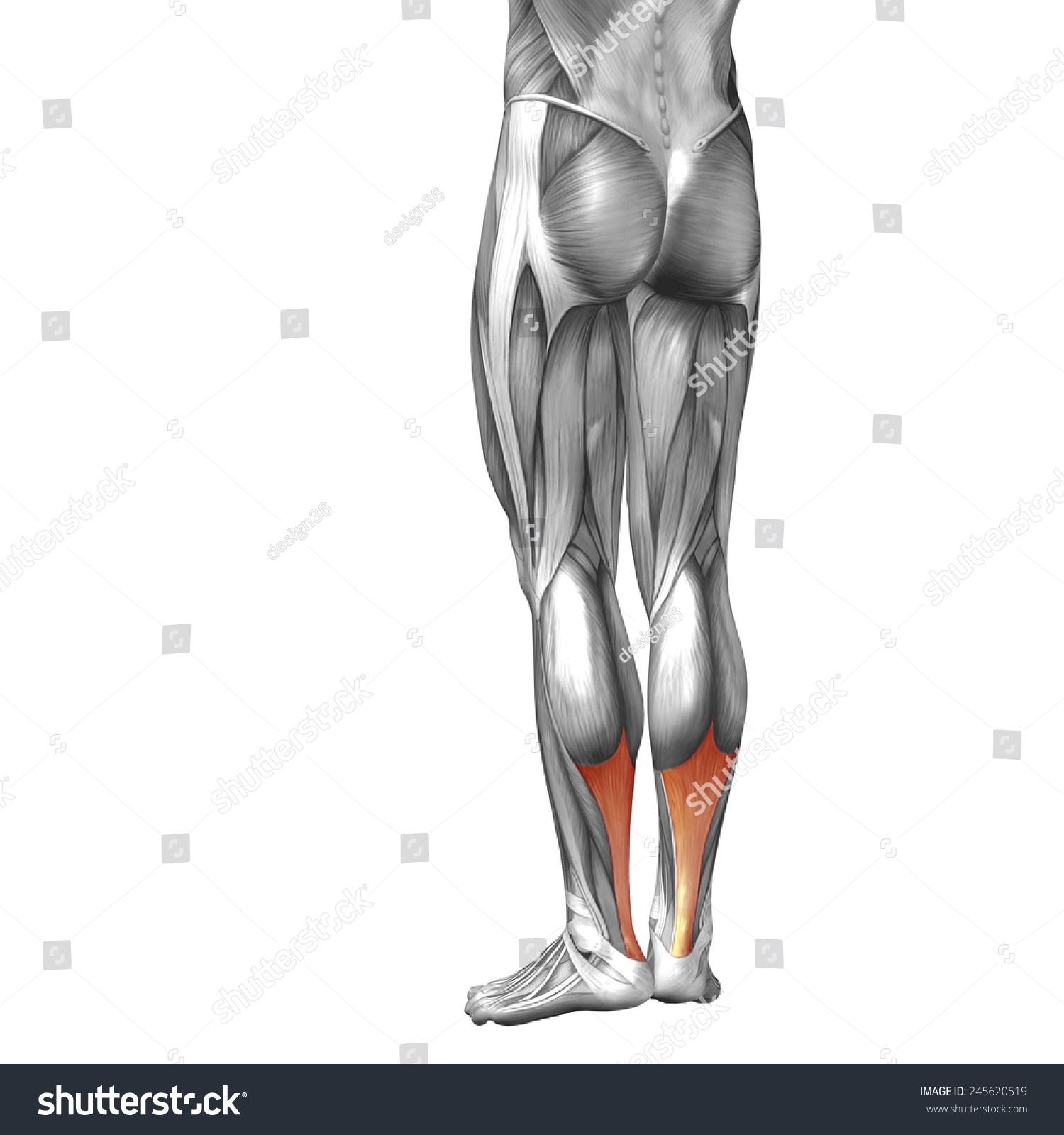 Conceptual 3 D Achilles Tendon Leg Human Stock Illustration ...