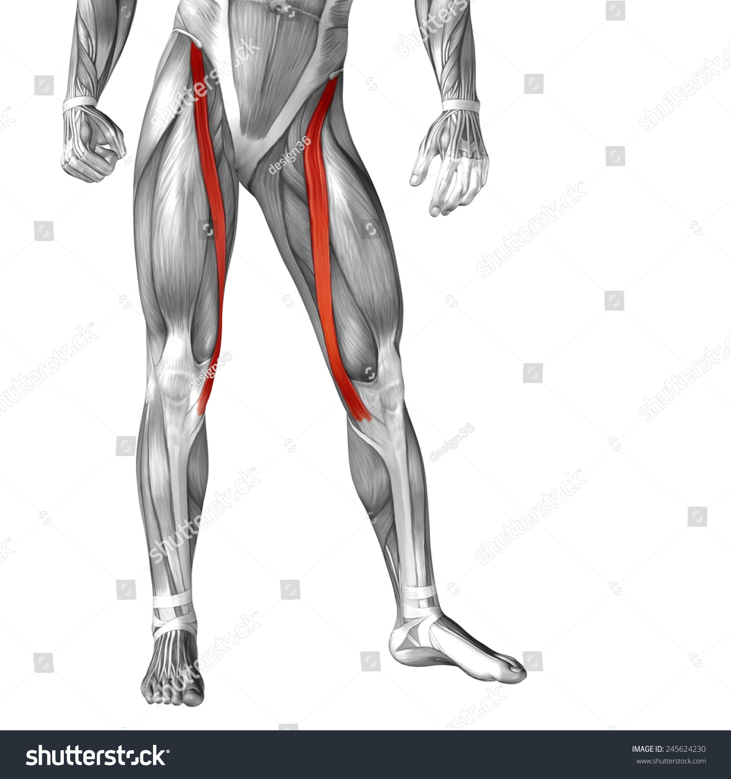 Concept Conceptual 3 D Sartorius Leg Human Stock Illustration ...