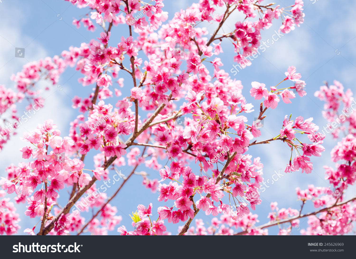 Beautiful Pink Flower Sakura Cherry Blossom Stock Photo Edit Now