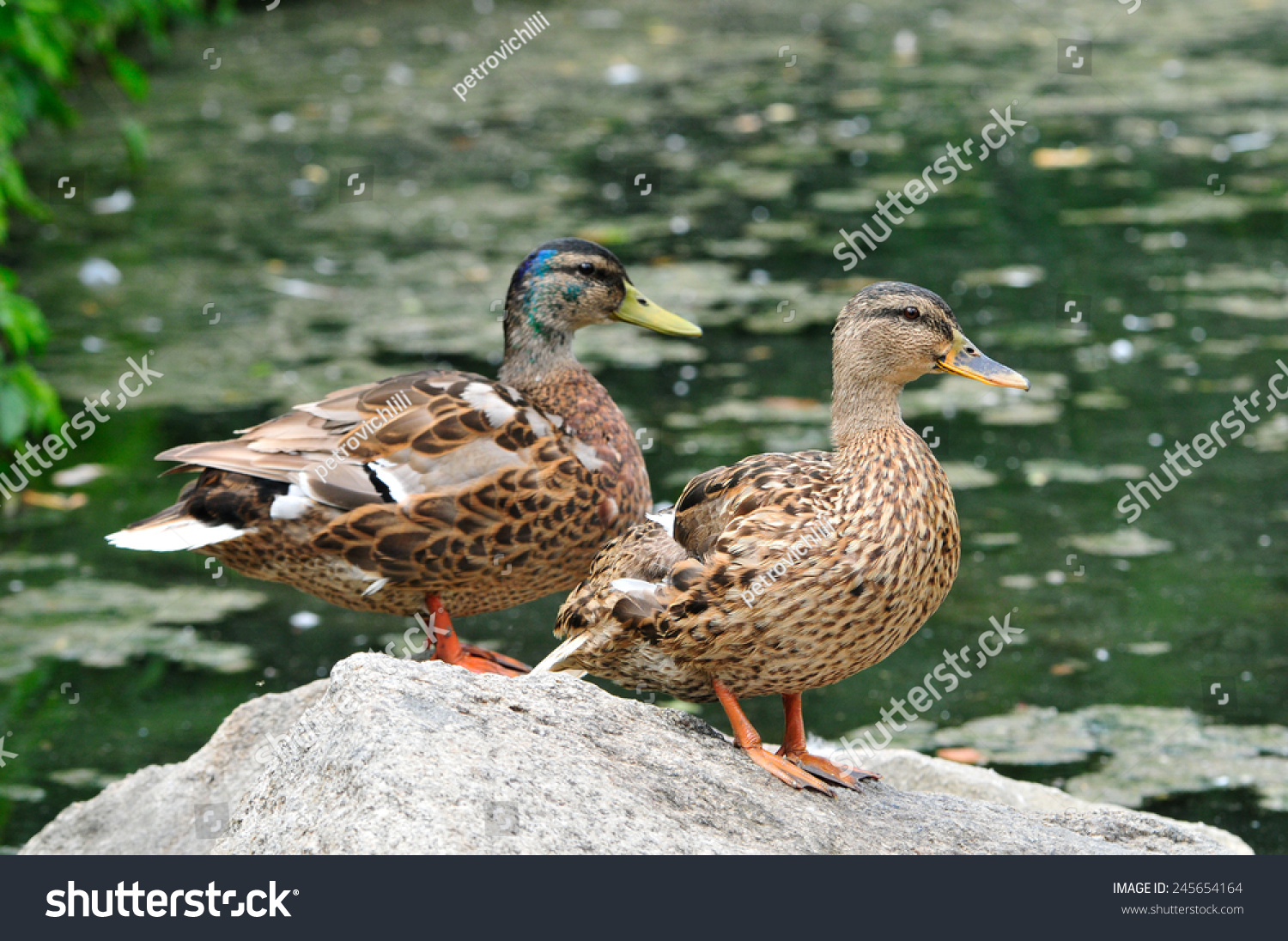 how to tell a male from a female mallard duck