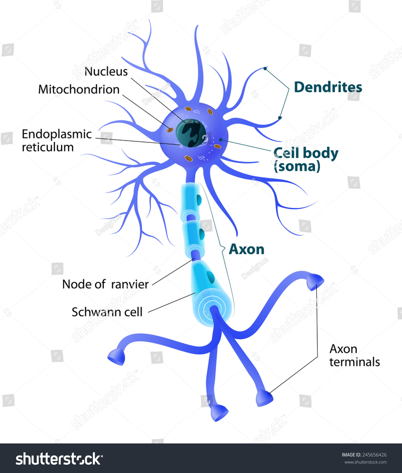 Anatomy Typical Human Neuron Structure Neuron Stock Vector ...