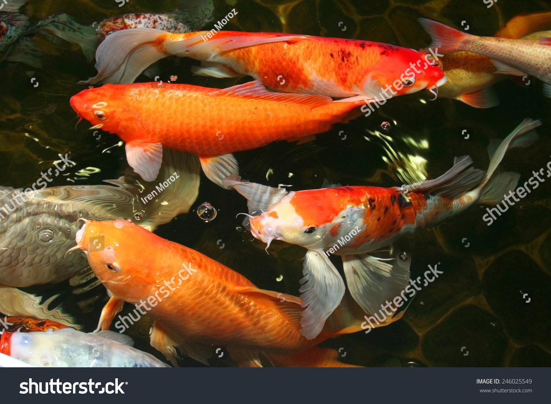 Koi Carp Symbols Good Luck Prosperity Stock Photo Royalty Free