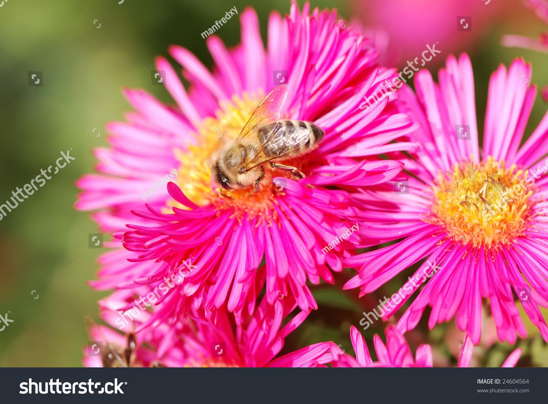 Honeybee Collecting Pollen On A Pink Aster Flower Ez Canvas