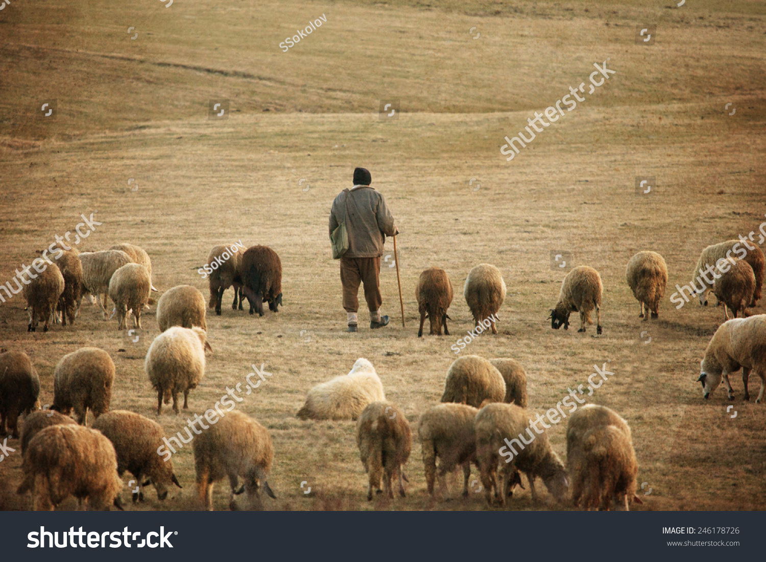 old vintage pastoral landscape herd sheep stock photo. Black Bedroom Furniture Sets. Home Design Ideas