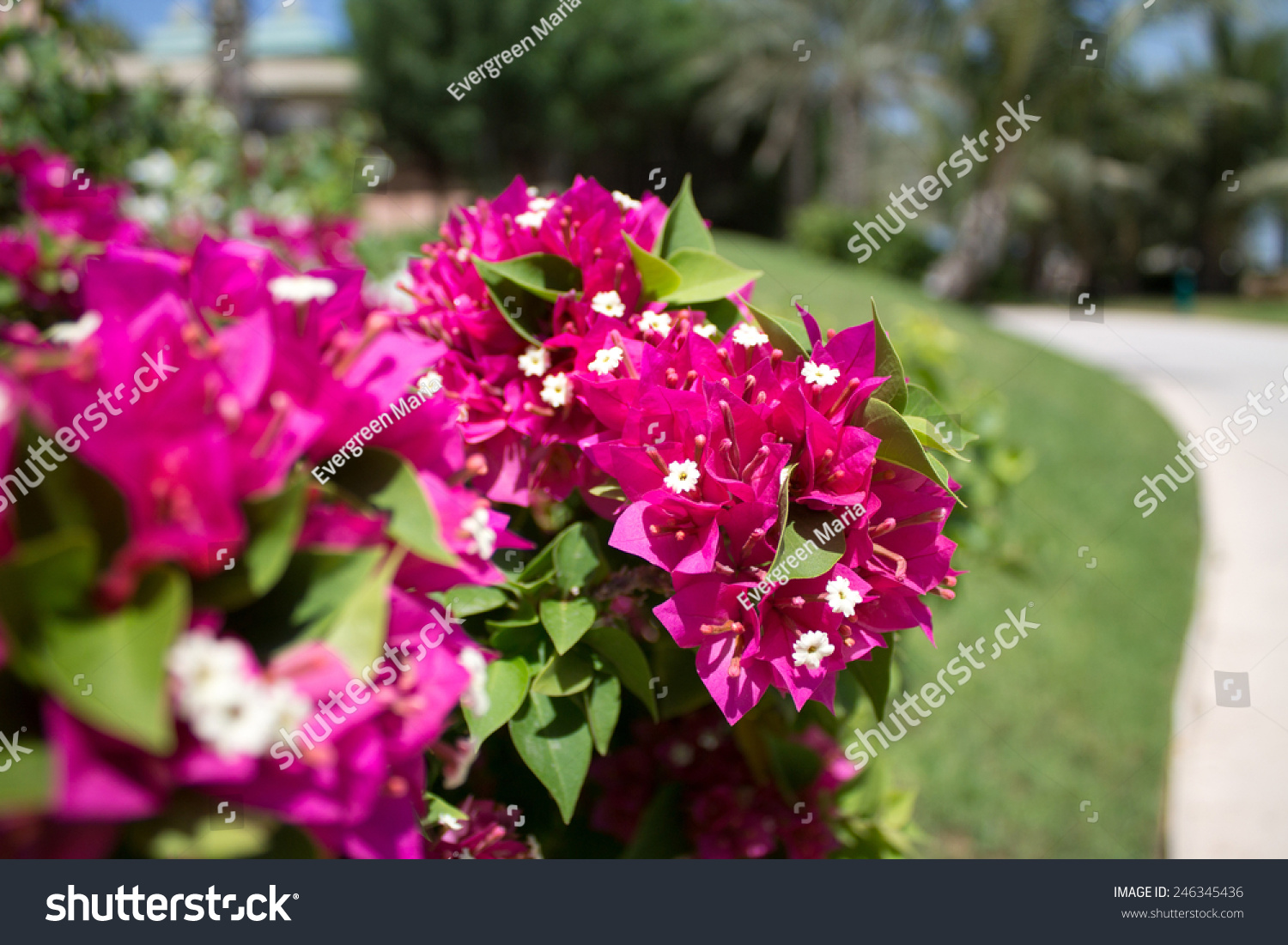 Beautiful Tropical Pink Flowers Stock Photo Royalty Free 246345436
