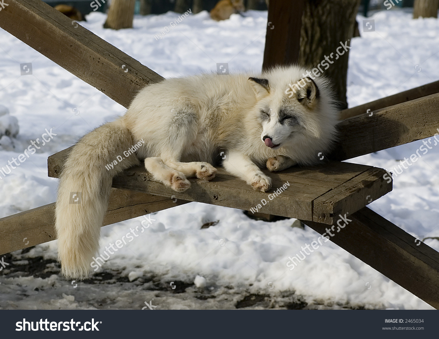White Japanese Fox In Winter Stock Photo 2465034