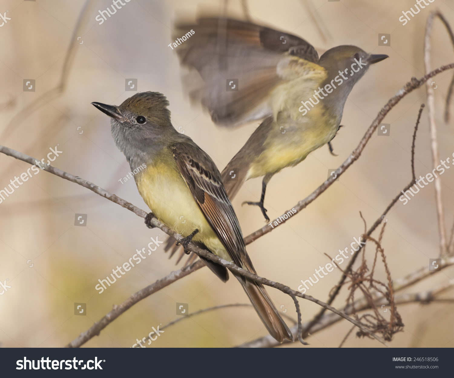 stock-photo-great-crested-flycatcher-two