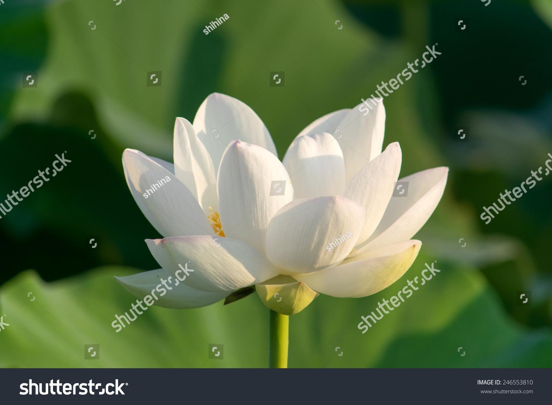 White lotus flower stock photo safe to use 246553810 shutterstock white lotus flower izmirmasajfo