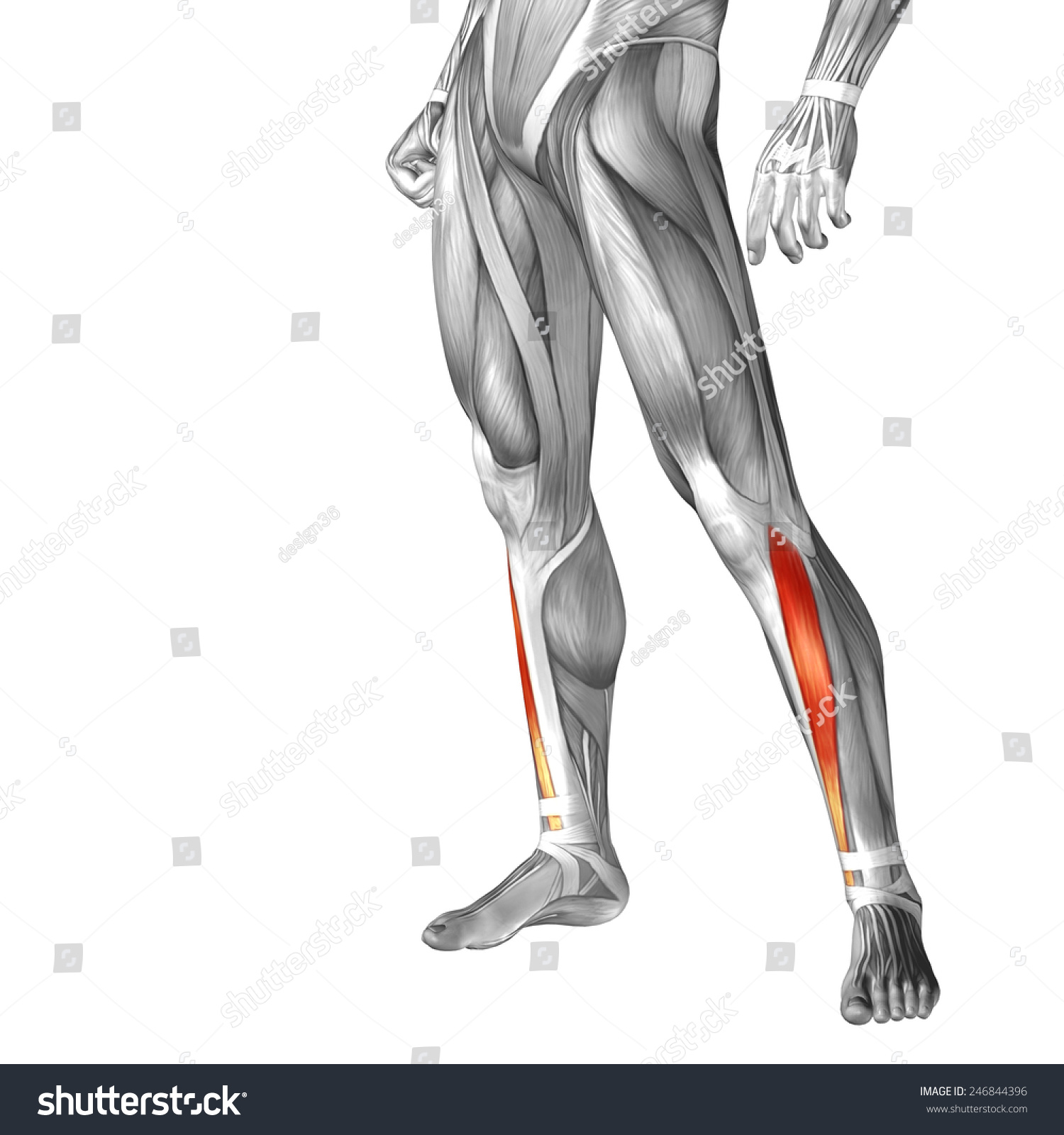 Royalty Free Stock Illustration Of Conceptual 3 D Tibialis Anterior