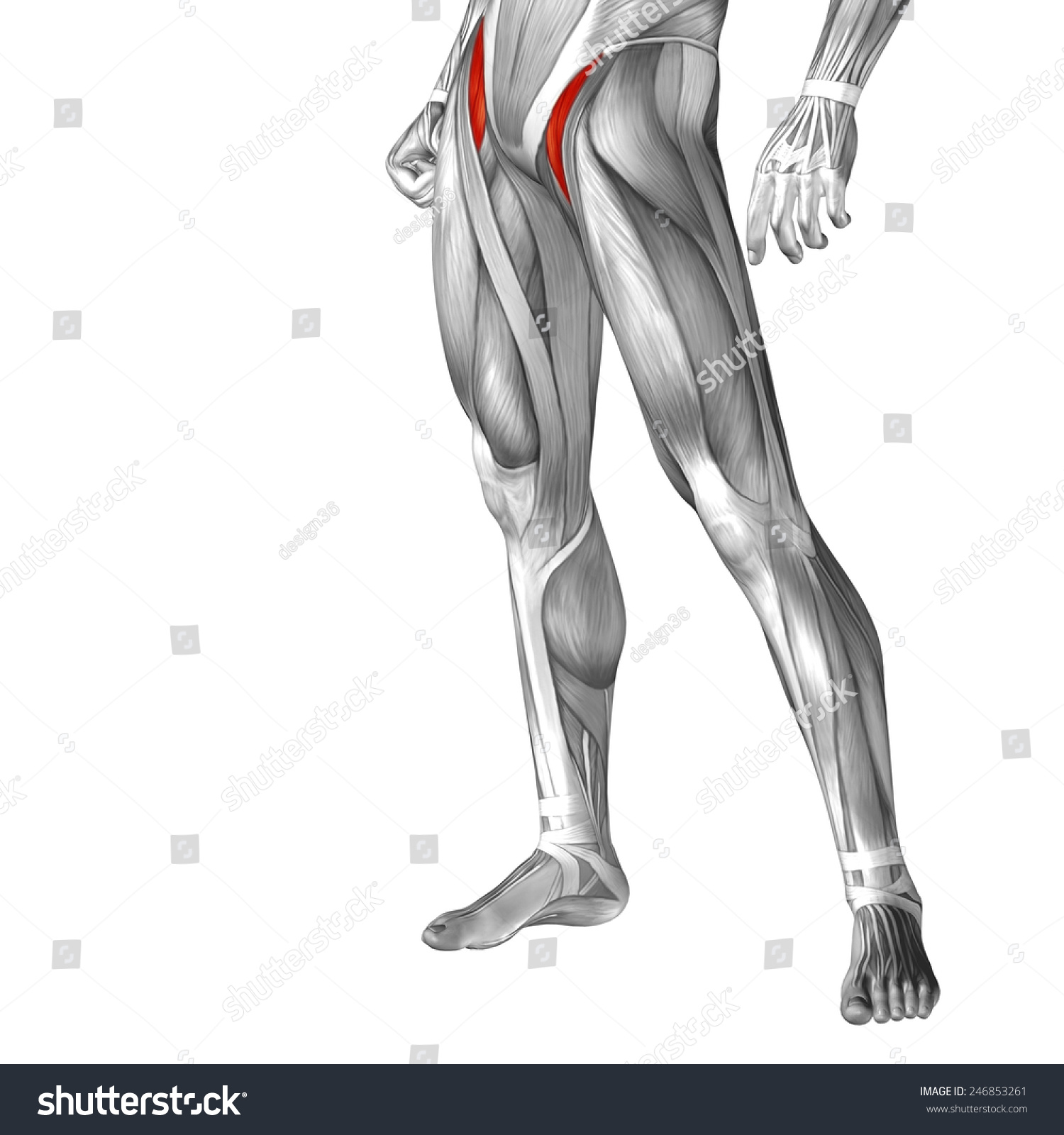 Concept Conceptual 3 D Iliopsoas Leg Human Stock Illustration