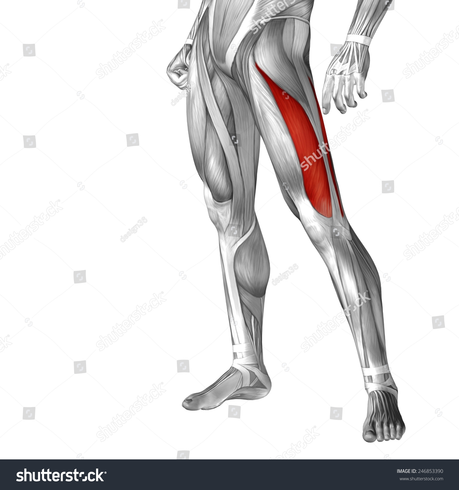 Conceptual 3 D Vastus Lateralis Leg Human Stock Illustration ...