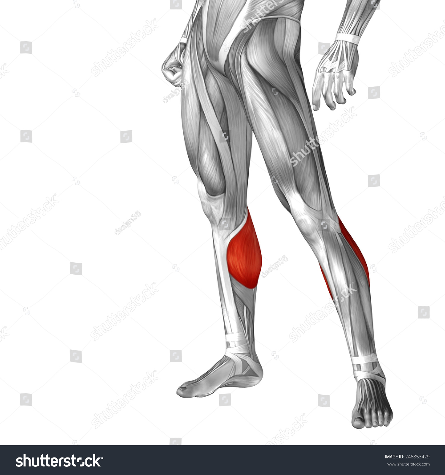 Royalty Free Stock Illustration Of Conceptual 3 D Gastrocnemius Leg