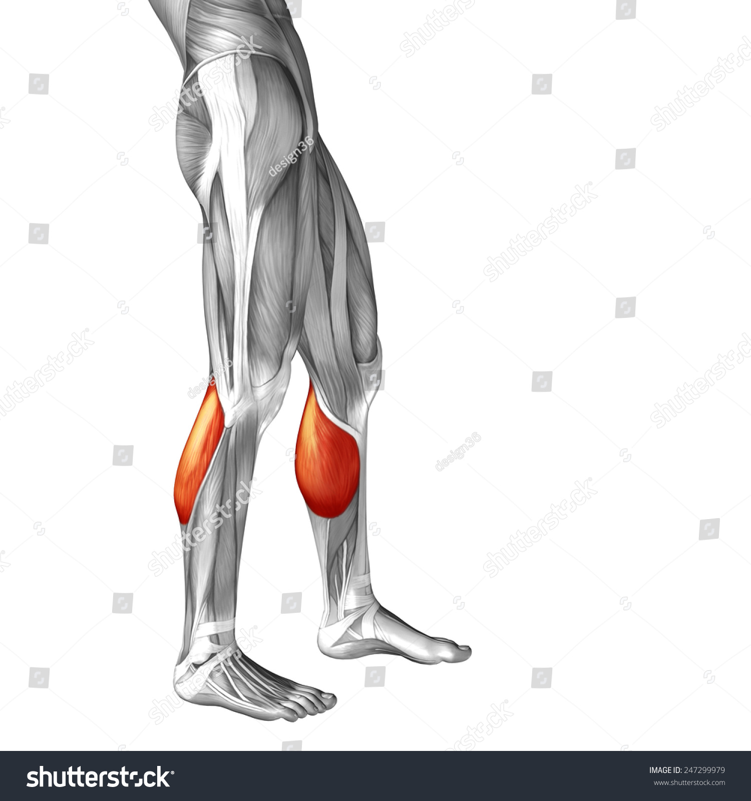 Conceptual 3 D Gastrocnemius Lower Leg Human Stock Illustration