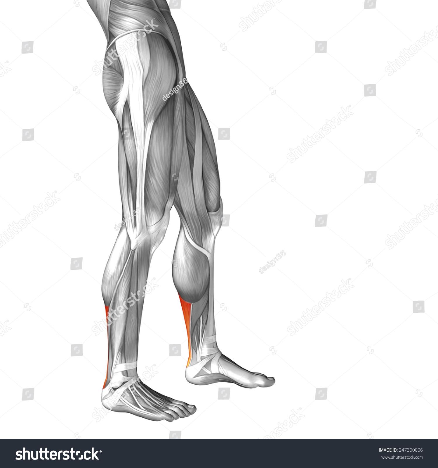 Conceptual 3 D Achilles Tendon Leg Human Stock Illustration ...